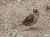 Grasshoper Sparrow, Ammodramus savannarum (San Francisco)