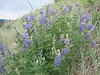 Silvery Lupine, Lupinus argenteus