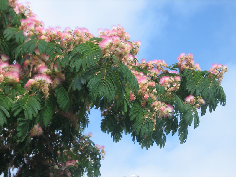 Albrizia, Acacia julibrissin
