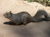 Rock Squirrel (Grand Canyon National Park)
