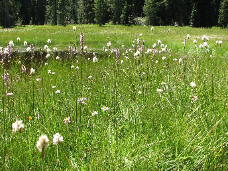 Pedicularis spec. and Western Bistort, Polygonum bistortoides (Yosemite National Park )