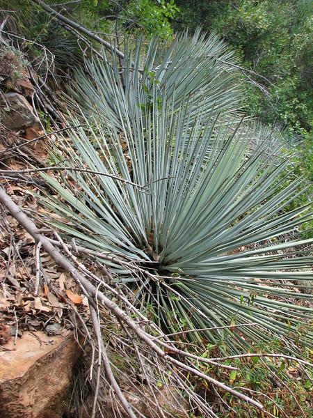 Whipple Yucca, Yucca whipplei (Yosemite N.P. Siera Nevada)