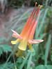 Aquilegia formosa (Zion National Park Utah)