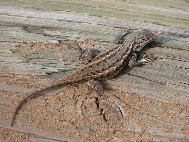 Lizard ? (Canyonsland Nat'l Park)