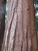 Sequoiadendron giganteum (Sequoia National Park California)