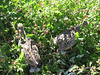 Blue Snow Hen, Dendragapus obscurus (Yosemite)