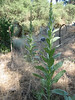Woolly Mullein, Verbascum thapsus (Siera Nevada California)