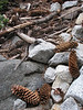 cones of Pinus lambertiana, Sugar Pine, (Sequoia National Park California)