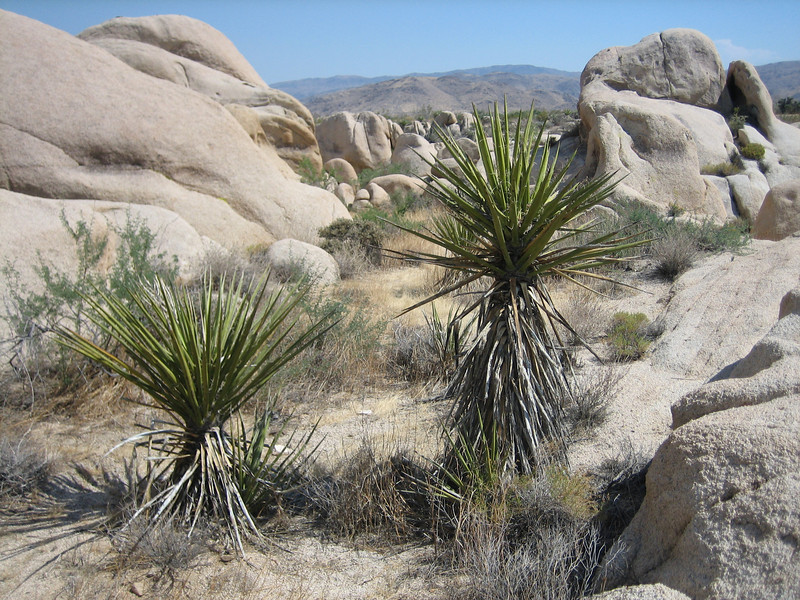 Joshua Tree, Yucca brevifolia (Joshua Tree National Park)