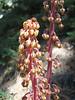 Pinedrops, Pterospora andromedea ( Pyrolaceae ) (Kings Canyon National Park)