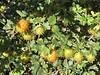 Wax Currant, Ribes cereum (Siera Nevada California)