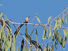 Hummingbird (San Diego)