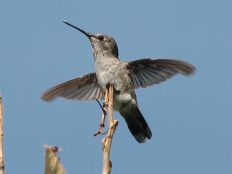Selaphorus rufus, Allen Hummingbird