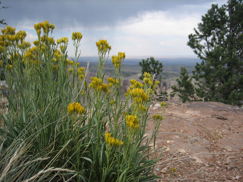Rock Goldenrod, Petradonia pumila (Grand Canyon National Park)