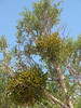 parasite: Phoradendron juniperinum, juniper mistletoe (Grand Canyon National Park)