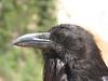 Raven, Corvus corax (Bryce Canyon Utah)