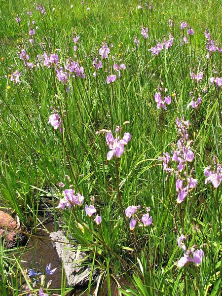 Dodecateon pulchellum (Yosemite N.P. Siera Nevada)