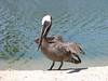 Pelecamus accidentalis, Brown Pelican, (Westcoast Pacific)