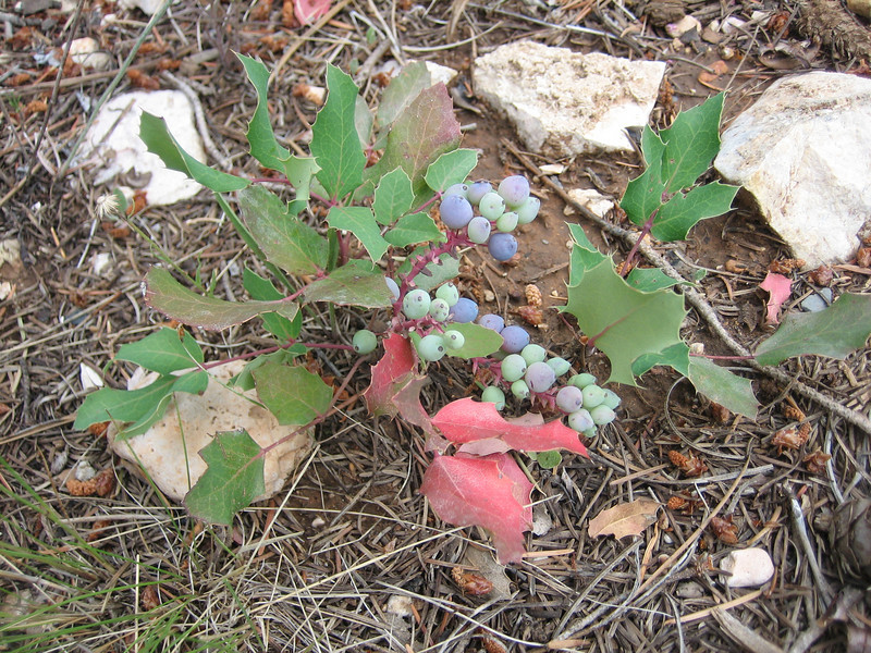 Oregon Grape, Mahonia repens (Bryce NP Utah)