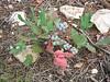 Oregon Grape, Mahonia repens (Bryce NP Utah)