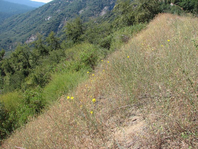 Giant Blazing Star, Mentzelia laevicaulis (Sequoia N.P. Siera Nevada)