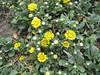 Curlycup Gumweed, Grindelia squarrosa (San Francisco)