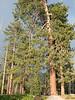 Pinus ponderosa or Pinus jeffreyi