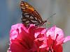 Monarch, Danaus plexippus (Los Angelos)