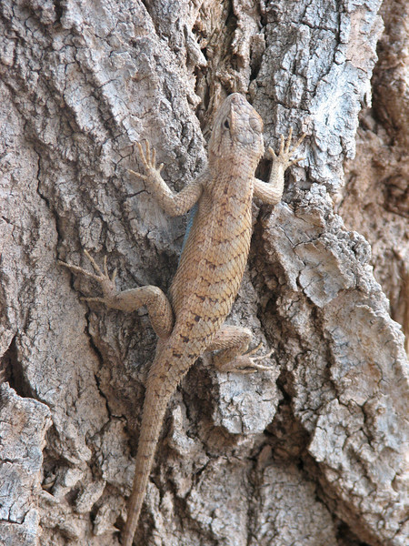 Lizard (Zion National Park Utah)