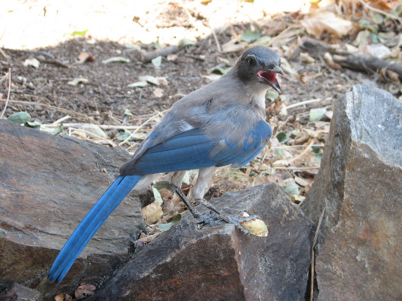 Mexican Jay, Aphelocoma ultramarina (Sequoia National Park)