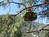 Pinus witch broom