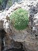 Petrophytum caespitosum (Rosaceae)