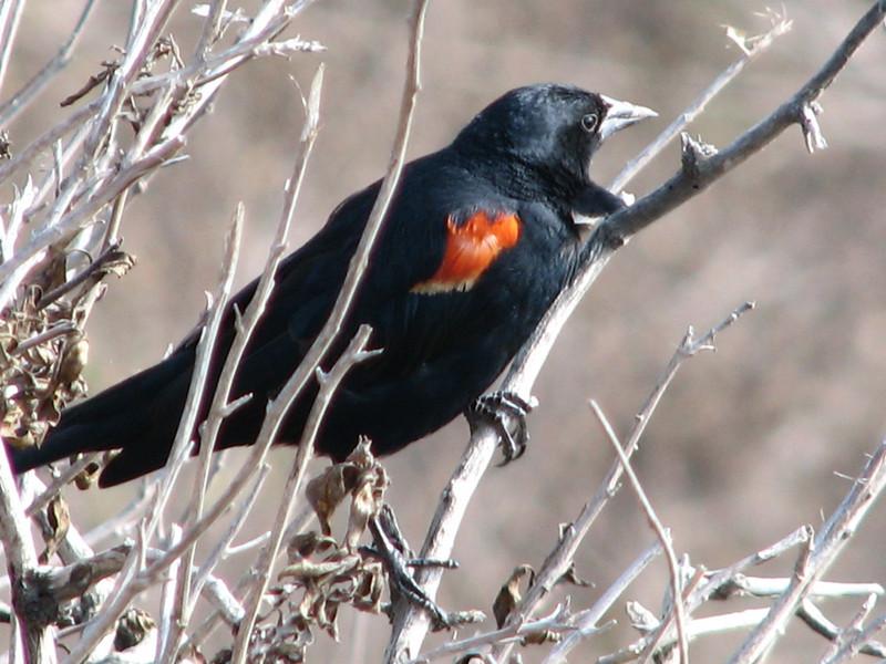Red-winged Blackbird, Agelarius phoeniceus (Westcoast)