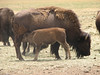 Buffalo, Bison bison (Dixie National Forest Utah)
