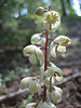 Pyrola picta, White-veined Wintergreen (Sequoia National Park)