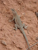 Lizard (Capitol Reef Nat'l Park Utah)