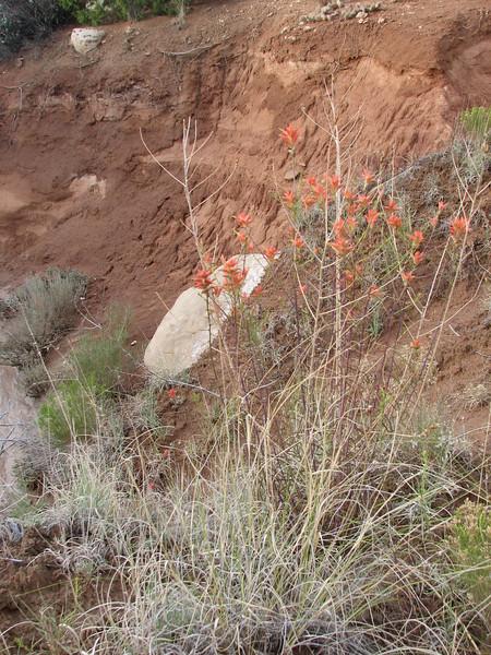 habitat of Castilleja wspec. (Indian Paintbrush Utah) (Capital Reef Nat'l Park)