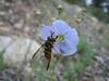 Linum lewisii (Blue Flax, Bryce Canyon, Utah)
