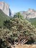 Manzanita, Arctostaphylos manzanita (Yosemite)