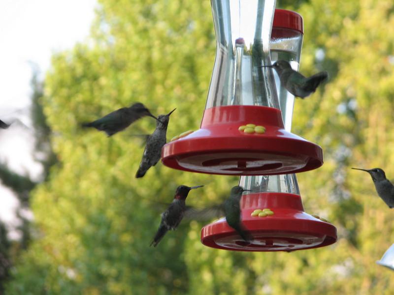 Archilochus alexandri, Black-Chinned Hummingbird,