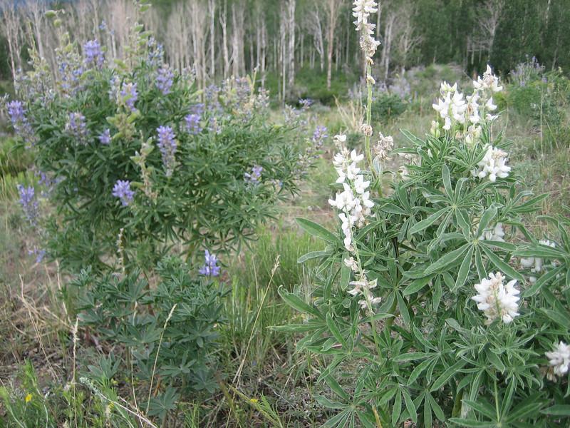 Silvery Lupine, Lupinus argenteus var. Alba