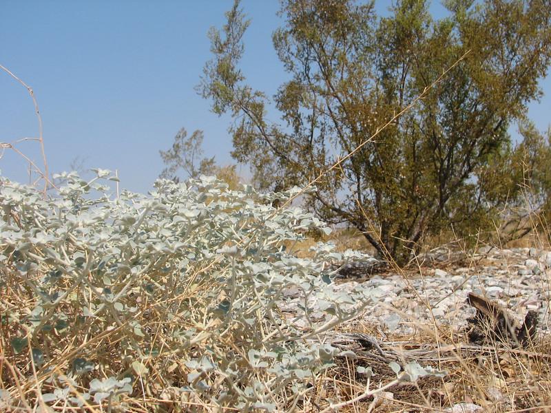 Turkey Mullein, Eremocarpus setigerus