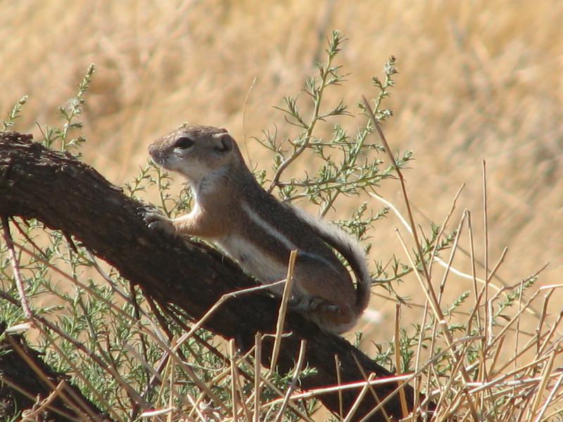 Ammospermophilus leucurus, White-tailed Antelope Squirrel, (Zion National Park Utah)