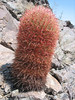 Ferocactus cylindraceus, Red Barrel Cactus, (Joshua Tree National Park)