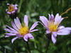 Blueleaf Aster, Aster glaucodes (Yosemite National Park )