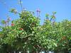 Coral Tree, Eritrina spec.