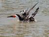 Rynchops niger, Black Skimmer (Westcoast Pacific)