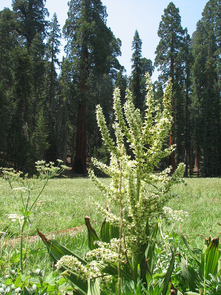 Veratrum californicum, California Corn Lily, (Sequoia National Park California)