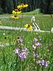 Dodecateon pulchellum and Helenium bigelovii (Yosemite National Park )