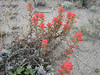 Castilleja spec.  Indian paintbrush (San Francisco)